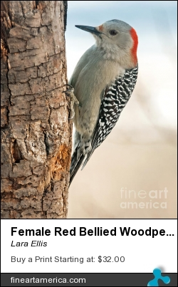 Female Red Bellied Woodpecker by Lara Ellis - Photograph - Photograph