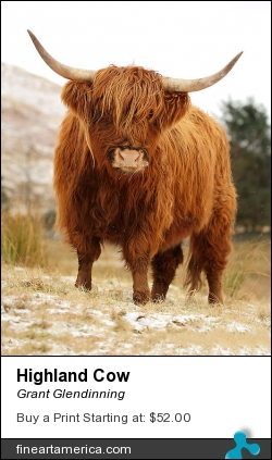 Highland Cow by Grant Glendinning - Photograph - Photography