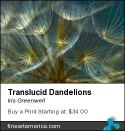 Translucid Dandelions by Iris Greenwell - Photograph - Photography