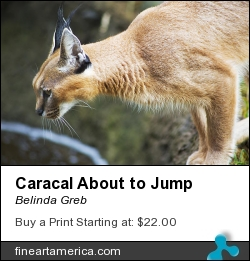 Caracal About To Jump by Belinda Greb - Photograph - Photographs, Photography, Photograph