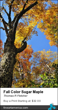 Fall Color Sugar Maple by Thomas R Fletcher - Photograph - Photography