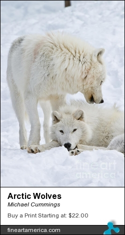 Arctic Wolves by Michael Cummings - Photograph - Photograph