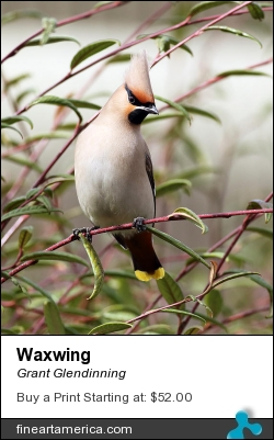 Waxwing by Grant Glendinning - Photograph - Photography