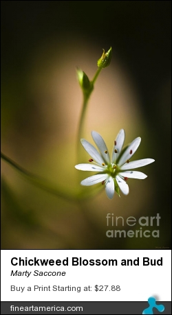 Chickweed Blossom And Bud by Marty Saccone - Photograph - Fine Photography