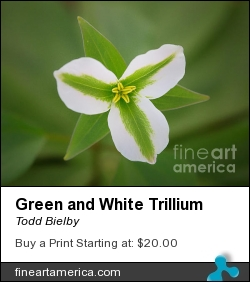 Green And White Trillium by Todd Bielby - Photograph - Photography
