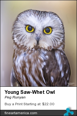 Young Saw-whet Owl by Peg Runyan - Photograph - Digital Photography