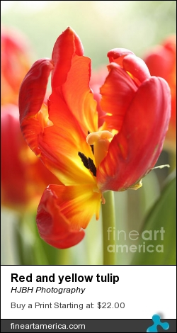 Red And Yellow Tulip by HJBH Photography - Photograph - Photographs - Photography, Photographs