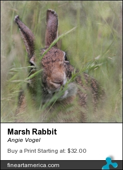 Marsh Rabbit by Angie Vogel - Photograph - Photography