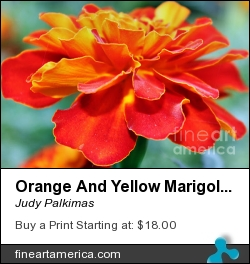 Orange And Yellow Marigold by Judy Palkimas - Photograph - Photography,photograp