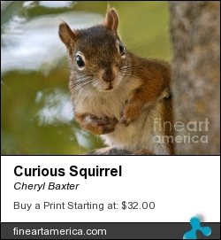 Curious Squirrel by Cheryl Baxter - Photograph - Photography