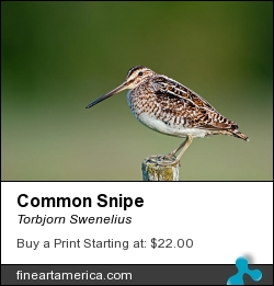 Common Snipe by Torbjorn Swenelius - Photograph - Photography