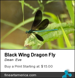 Black Wing Dragon Fly by Dean Eve - Photograph - Photograph