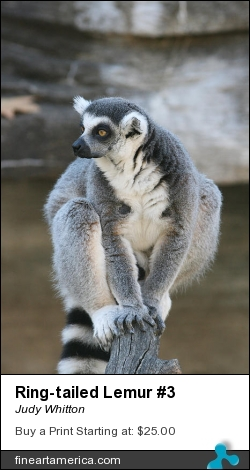 Ring-tailed Lemur #3 by Judy Whitton - Photograph - Photographs