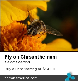 Fly On Chrsanthemum by David Pearson - Photograph - Photograph