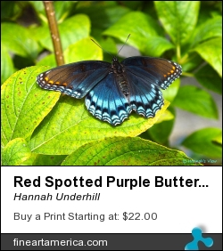 Red Spotted Purple Butterfly by Hannah Underhill - Digital Art - Digital Photo