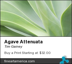 Agave Attenuata by Tim Gainey - Photograph - Photograph