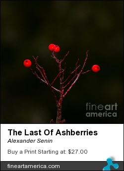 The Last Of Ashberries by Alexander Senin - Photograph