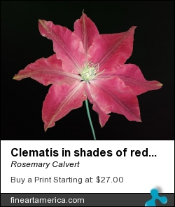 Clematis In Shades Of Red On Black Background. by Rosemary Calvert - Photograph - Photography