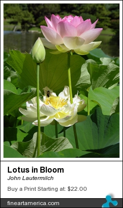Lotus In Bloom by John Lautermilch - Painting - Digital Photo