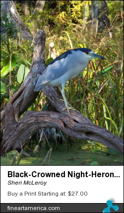 Black-crowned Night-heron 1 by Sheri McLeroy - Photograph - Photography