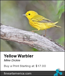 Yellow Warbler by Mike Dickie - Photograph
