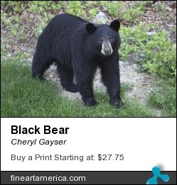 Black Bear by Cheryl Gayser - Photograph - Photography