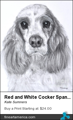 Red And White Cocker Spaniel by Kate Sumners - Painting - Charcoal Drawing
