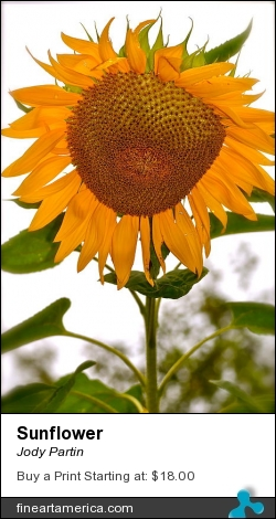 Sunflower by Jody Partin - Photograph - Photograph