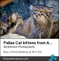 Pallas Cat Kittens From Asia by Berkehaus Photography - Photograph - Photograph