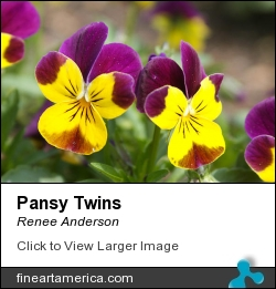 Pansy Twins by Renee Anderson - Photograph - Digital Images