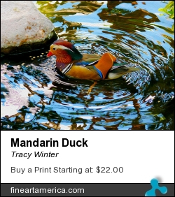 Mandarin Duck by Tracy Winter - Photograph - Photography