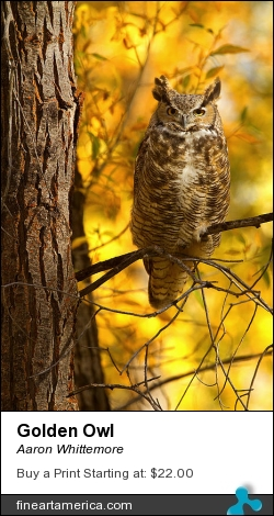 Golden Owl by Aaron Whittemore - Photograph - Photographic Images
