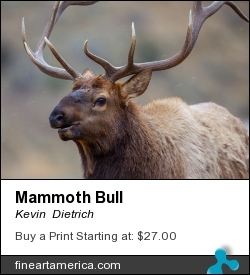Mammoth Bull by Kevin  Dietrich - Photograph - Photograph
