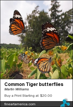 Common Tiger Butterflies by Martin Williams - Photograph - Photo