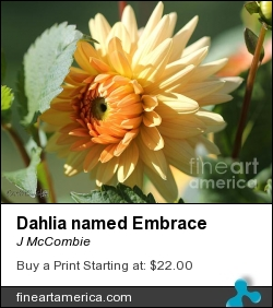 Dahlia Named Embrace by J McCombie - Photograph