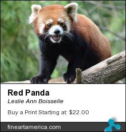 Red Panda by Leslie Ann Boisselle - Photograph - Photography