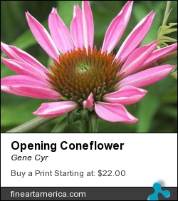 Opening Coneflower by Gene Cyr - Photograph - Photos
