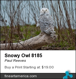 Snowy Owl 8185 by Paul Reeves - Photograph