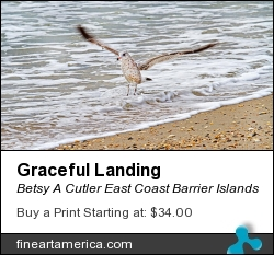 Graceful Landing by Betsy A Cutler East Coast Barrier Islands - Photograph - Fine Art Photography