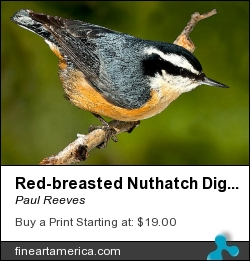 Red-breasted Nuthatch Digital Watercolour 0998 by Paul Reeves - Digital Art - Photograph With A Watercolour Filter Applied.