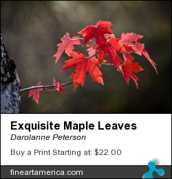 Exquisite Maple Leaves by Darolanne Peterson - Photograph - Photography