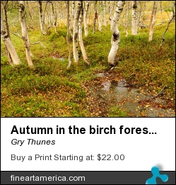 Autumn In The Birch Forest by Gry Thunes - Photograph