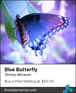 Blue Butterfly by Shirley Moravec - Photograph - Digitally Altered Photos