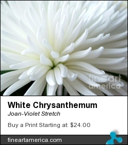 White Chrysanthemum by Joan-Violet Stretch - Photograph