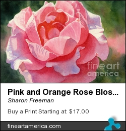 Pink And Orange Rose Blossom by Sharon Freeman - Painting - Watercolor On Paper