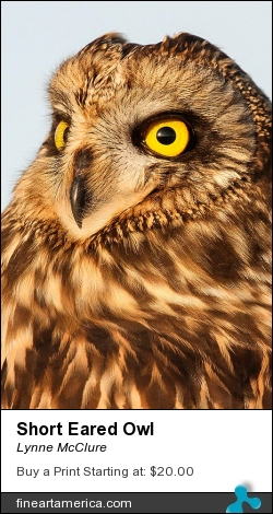 Short Eared Owl by Lynne McClure - Photograph - Photography