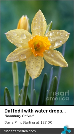 Daffodil With Water Drops As Water Colour by Rosemary Calvert - Photograph - Photography