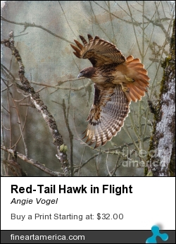 Red-tail Hawk In Flight by Angie Vogel - Photograph - Photography / Digital Art