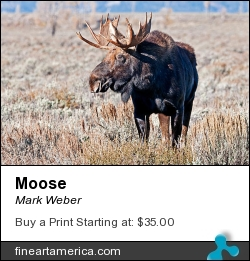 Moose by Mark Weber - Photograph - Photographs