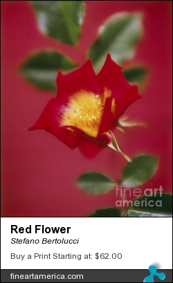 Red Flower by Stefano Bertolucci - Photograph - Photo